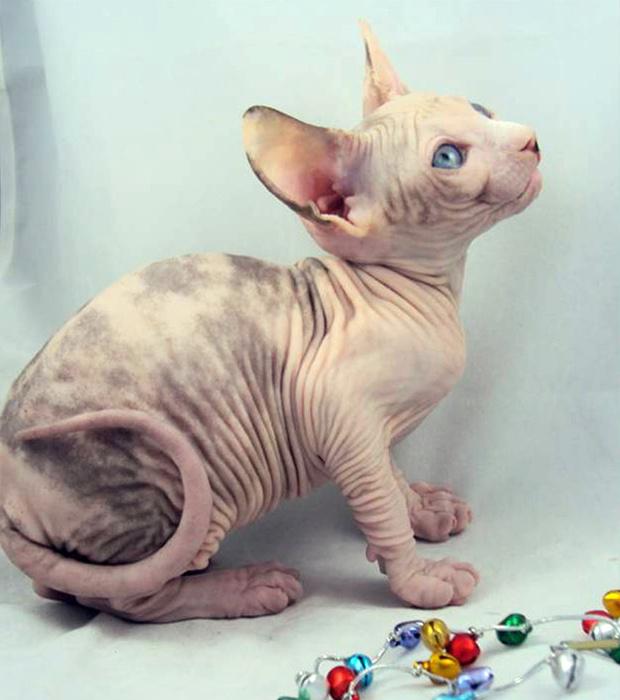 O gato Snickers, da americana Heather Lombardi, em foto de álbum de família. O felino morreu de frio a bordo de um compartimento de carga de um voo entre Utah e Connecticut, segundo Heather. Ela havia pago cerca de US$ 300 para transportar o bichano, de 1 - Crédito: Foto: AP