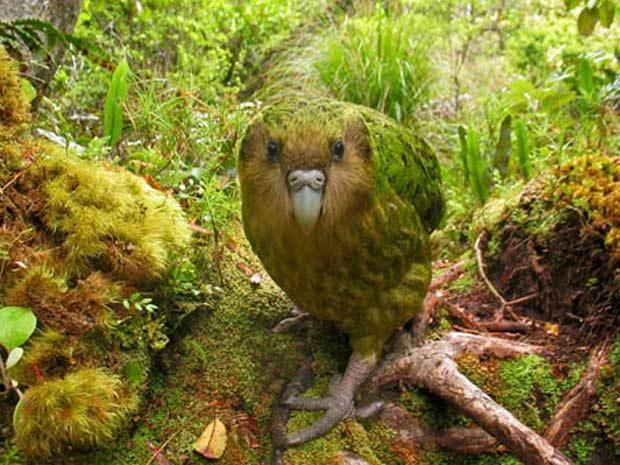Espécie de papagaio foi clicada na Nova Zelândia - Crédito: Foto: Copyright Shane McInnes / The World Rarest Birds