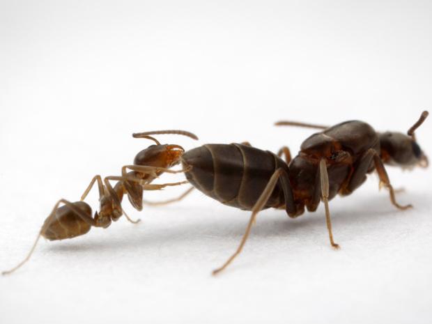 Formigas argentinas ameaçam outras espécies de insetos e a agricultura. - Crédito: Foto: alexanderwild.com