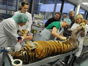 Felino passou por cirurgia para curar artirte na anca direita. - Crédito: Foto: Waltraud Grubitzsch / AFP Photo