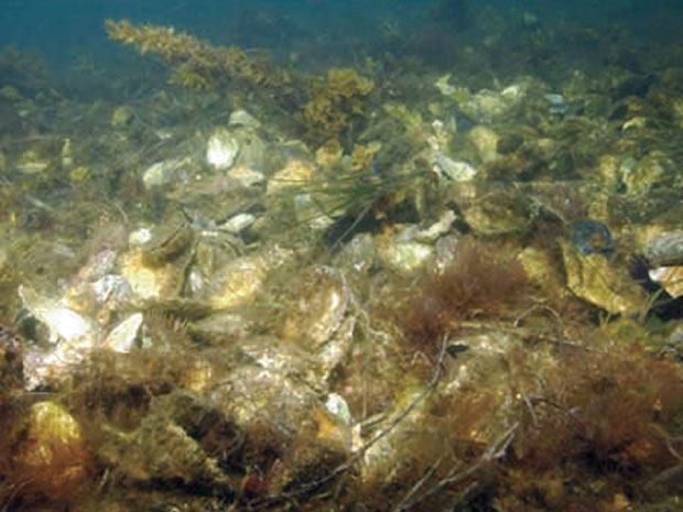Recife de ostra em restauração para medir eficiência de proteção no Alabama, EUA. - Crédito: Foto: Divulgação