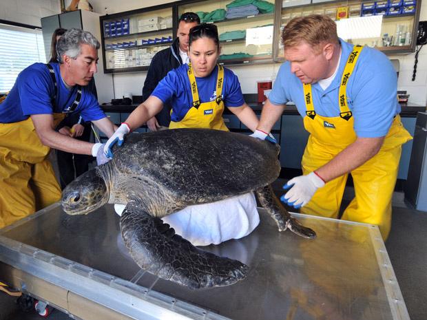 A tartaruga Bruce - Crédito: Foto: SeaWorld
