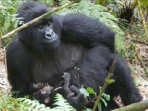 Mãe com gêmeos em parque nacional de Ruanda, na África. - Crédito: Foto: Gorilla Organization