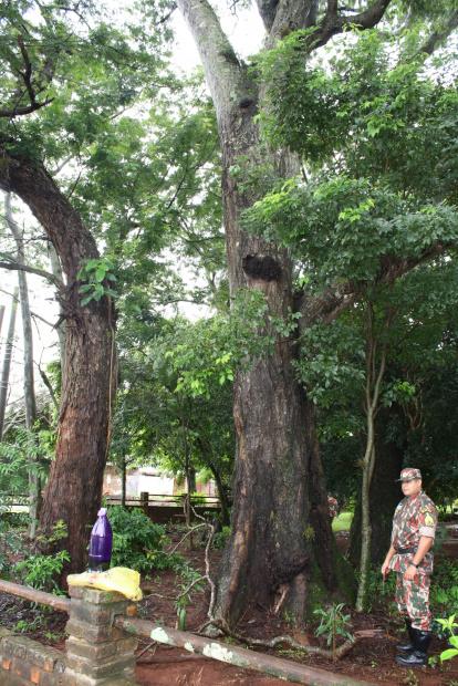 PMA e Imam flagraram homem envenenando árvore ontem em bairro nobre de Dourados - Crédito: Foto: Hédio Fa-zan/PROGRESSO