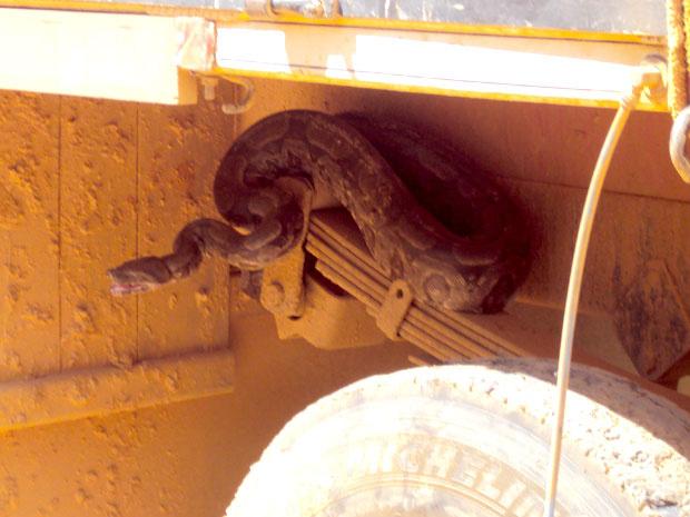 Segundo polícia, motorista encontrou jiboia quando ia trocar o pneu do caminhão. Cobra estava arisca e assustou moradores de povoado - Crédito: Foto: Divulgação / Polícia Militar do Meio Ambiente
