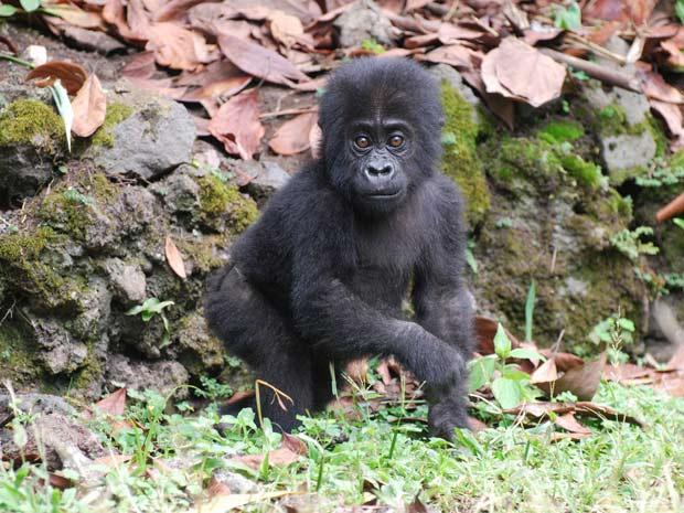 Um dos gorilas abrigados tem apenas sete meses e é chamado pelos criadores do Centro de Reabilitação de Gorilas e Educação Conservacionista de \'Kyasa\' - Crédito: Foto: The Dian Fossey Gorilla Fund International/via BBC