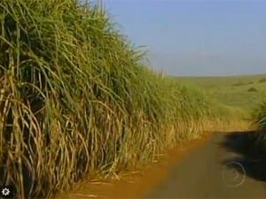 Volume de cana destinada ao etanol foi reduzido com alta do preço do açúcar  internacionalmente  - Crédito: Foto: Reprodução/TV Globo