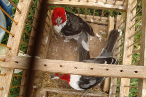 Pássaros foram encontrados em ônibus  - Crédito: Foto: Polícia Militar do Meio Ambiente/Divulgação