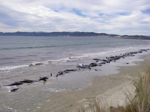 Imagem mostra o grupo de 107 baleias-piloto encontradas por dois turistas em uma praia da ilha de Stewart, no sul da Nova Zelândia. Segundo o Departamento de Conservação, 48 ainda estavam vivas quando foram encontradas, mas tiveram de ser sacrificadas. - Crédito: Foto: Reuters