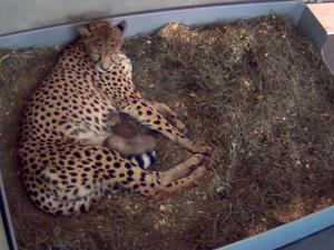 Filhote amamenta na mãe adotiva - Crédito: Foto: Mehgan Murphy / Smithsonian\'s National Zoo