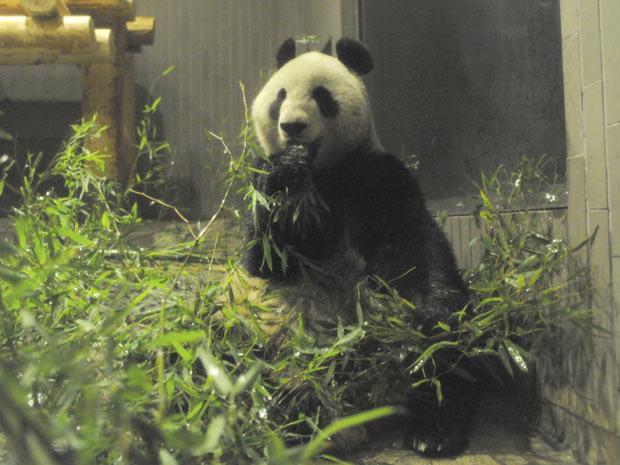 A panda fêmea Xiannu come bambu no zoológico Ueno, no Japão - Crédito: Foto: Ueno Zoological Gardens / AP Photo