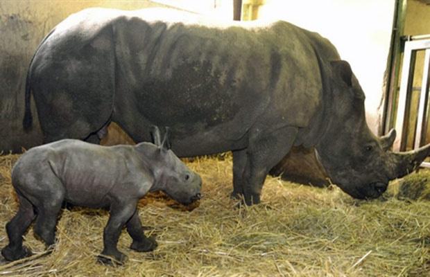 Parque zooloógico em Hodenhagen, na Alemanha, apresentou o filhote de rinoceronte Lara, que nasceu na noite de segunda para  terça-feira - Crédito: Foto: AFP