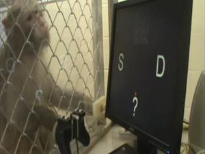 Quando o macaco errava, o jogo era interrompido por alguns segundos - Crédito: Foto: BBC