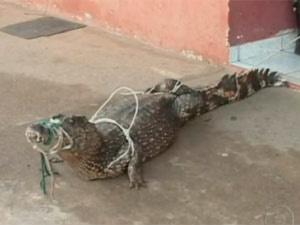 Jacaré de 1,5 m foi encontrado atrás de sofá em casa em Parauapebas - Crédito: Foto: Reprodução/TV Globo