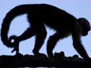 Macacos capuchinos esfregam urina na pele como  forma de atrair fêmeas - Crédito: Foto: 3 CAM / via BBC