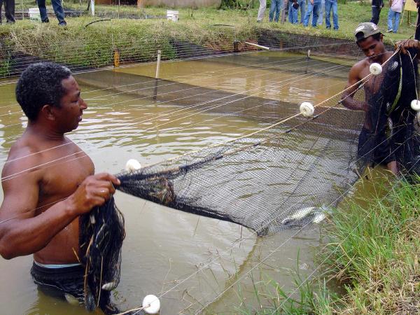 Peixes são capturados pelos produtores para serem distribuidos na comunidade carente Foto: reprodução -