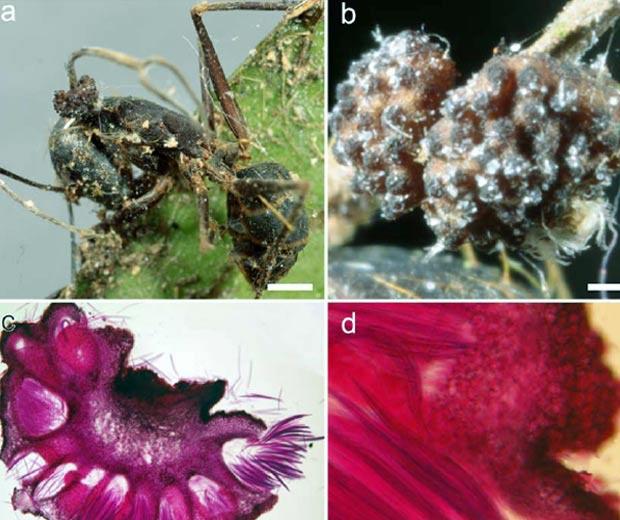 Imagens mostram ação do fungo nas formigas. - Crédito: Foto: Harry Evans e David Hughes/ PLoS One/ Divulgação