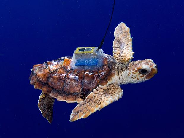 Uma das tartarugas estudadas com o rastreador no casco - Crédito: Foto: James Abernethy/Barcroft Media/Getty Images