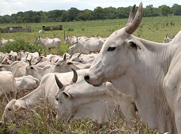 Produtores da fronteira ficaram por muito tempo com restrições na venda de animais - Crédito: Foto : Edemir Rodrigues