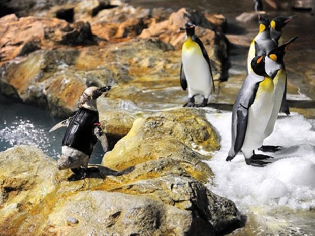 À esquerda da foto, um pinguim-de-humboldt aparece usando um traje especial, na Cingapura. O pinguim, que está com dez anos, vem perdendo penas desde o ano passado. O traje imita uma cobertura natural, providenciando calor e isolamento, o que ajuda, inclu - Crédito: Foto: Roslan Rahman/AFP