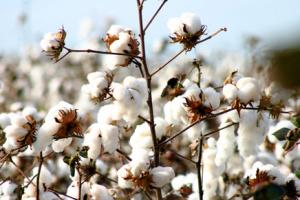 O desempenho é puxado principalmente pelo valor da produção do algodão - Crédito: Foto : Divulgação