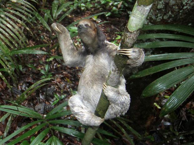 Bicho-preguiça devolvido à natureza na quinta-feira - Crédito: Foto: Marcio James / Semcom/Divulgação