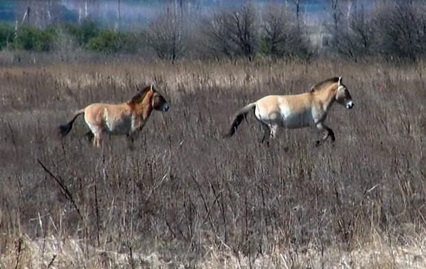 Cavalos selvagens galopam pela zona de exclusão de Chernobyl. - Crédito: Foto: Dennis Barbosa/G1