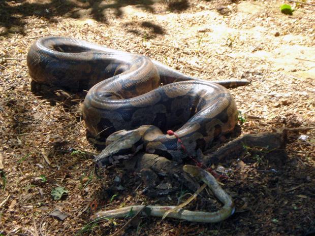 Cobra resgatada por bombeiros em Goiás - Crédito: Foto: Divulgação/Corpo de Bombeiros