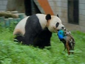 Panda ataca pavão - Crédito: Foto: BBC