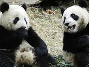 Yuan Yuan foi um dos dois pandas presenteados pela China a Taiwan em 2008. - Crédito: Foto:AP Photo/BBC