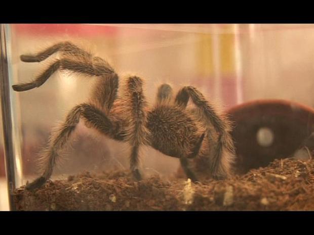 Tarântulas têm pelos nas patas para não escorregar - Crédito: Foto: BBC