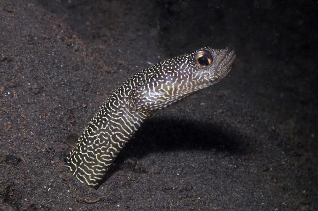 Possível nova espécie de enguia encontrada nos arredores de Bali.  - Crédito: Foto: Mark Erdmann - Conservação Internacional/Divulgação