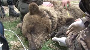 Projeto coloca GPS em ursos -