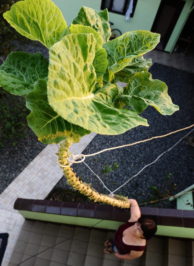Casal plantou couve que atingiu cinco metros de altura em Joinvile - Crédito: Foto: Claudia Baartsch/A Notícia/Ag.RBS