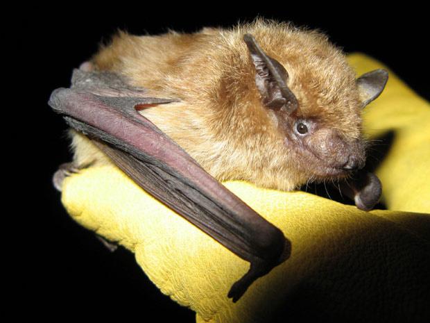 Morcegos conseguem viver mais se hibernar quando infectados com raiva. - Crédito: Foto: Dylan George / divulgação