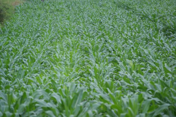 Técnicos reavaliam a área plantada do milho em Dourados que é de 95 mil há - Crédito: Foto: Hédio Fazan/PROGRESSO