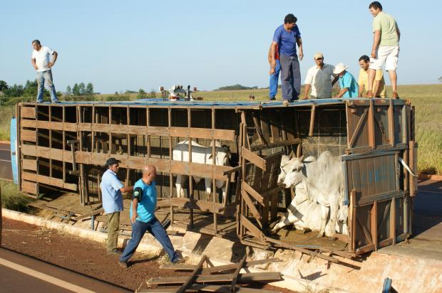 Boi sai correndo entre os carros que aguardavam a desobstrução da pista - Crédito: Foto : Hédio Fazan/PROGRESSO