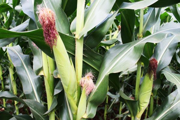 O agricultor que plantar outras culturas e milho poderá obter mais recursos - Crédito: Foto : Hedio Fazan/PROGRESSO