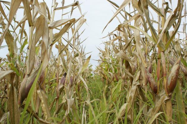 Lavouras de milho na região de Dourados foram diretamente afetadas por geadas consecutivas Fotos: Hedio Fazan  -