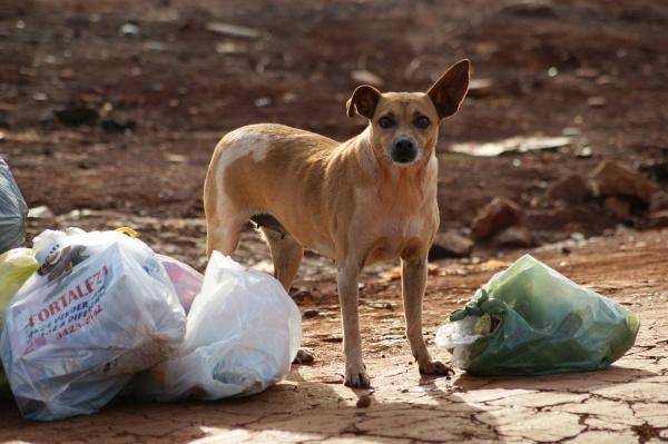 Animais que sofrem mal tratos ou passam fome são os mais aptos a agredir Foto: Hédio Fazan  -