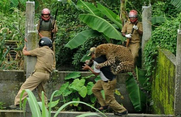 Leopardo ataca guarda florestal durante operação para capturá-lo. - Crédito: Foto: Diptendu Dutta/AFP