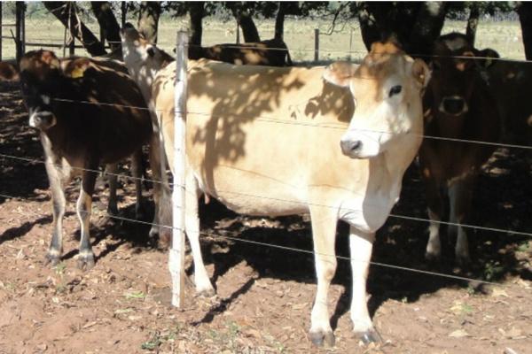 Produtividade de leite por animal por dia é baixa, de 3 a 4 litros/dia, quando o ideal mínimo seria acima de 10 litros/dia, segundo estudos realizados por pesquisadores da Embrapa Dourados. - Crédito: Foto: Euclides Maranho/Embrapa