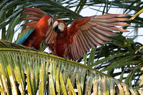 Com 82 espécies catalogadas, o Brasil possui o maior número de espécies de psitacídeos. - Crédito: Foto: Divulgação