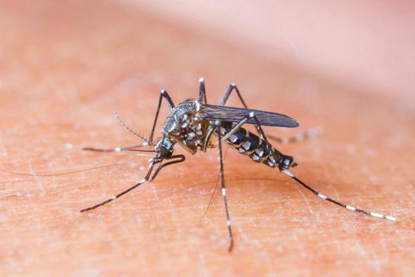 Aedes aegypti, da dengue, também pode transmitir o zika vírus. - Crédito: Foto: Divulgação