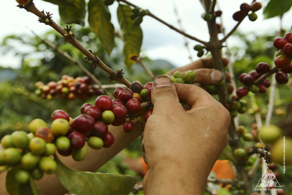 Segundo a Conab, a produção total de café do Brasil em 2015 está estimada em 43,24 milhões de sacas de 60 quilos, sendo 32,05 milhões da espécie arábica e 11,19 milhões de café conilon. - Crédito: Foto: Divulgação