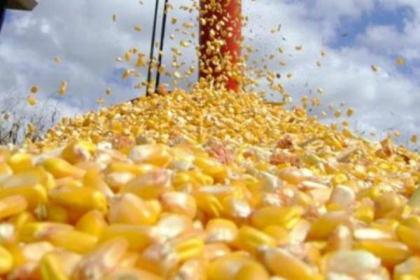 Números mostram que o milho foi o diferencial  em 2015. - Crédito: Foto: Divulgação