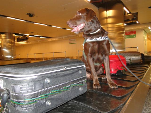 Faro apurado pelo labrador Romeu é essencial para fiscalização de produtos em aeroportos. - Crédito: Foto: Péricles Barreto/Mapa