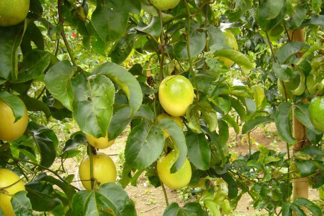 Brasil é o maior produtor mundial de maracujá e também o maior consumidor; a produção e a área plantada  do fruto decuplicaram desde os anos 1980. - Crédito: Foto: Divulgação