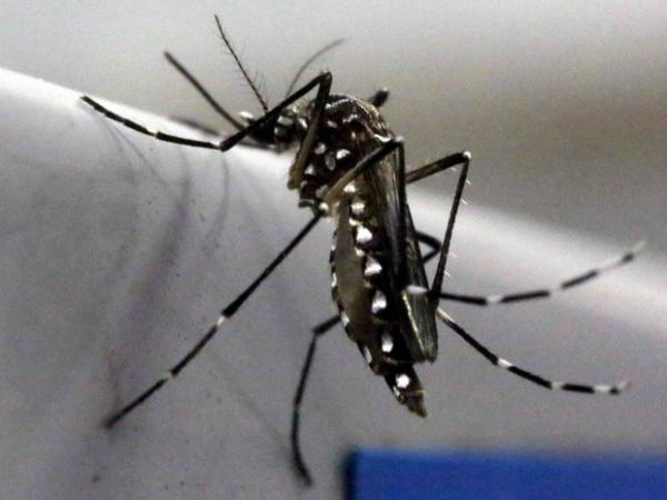 Mosquito Aedes aegypti é visto no laboratório Oxitec em Campinas - Crédito: Foto: Paulo Whitaker/Reuters