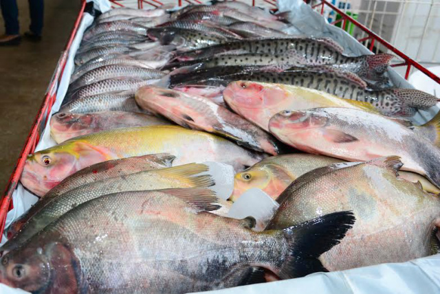 Ponta Porã vem impulsionando a produção do peixe, através do projeto desenvolvido pela Prefeitura. - Crédito: Foto: Divulgação